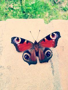 Butterfly **