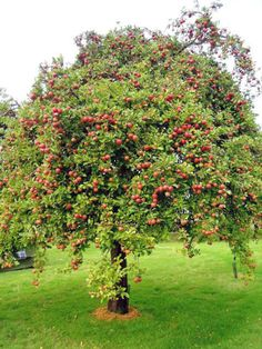 Apple Tree - They attract Downy Woodpeckers and Deer. You may need to protect from Deer when young. Keep away from Pyracanthus Shrubs, as they cause apple scab. Fruit Plants, Fruit Garden, Garden Trees, Vegetable Garden, Trees And Shrubs, Trees To Plant, Baumgarten, Beautiful Fruits, Tree Shapes