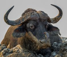 Sympathy for a buffalo Photograph by Marc MOL -- National Geographic Your Shot