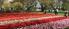 Wat is the best time to visit keukenhof? and What is the best time to see the tulips in holland in full bloom? are 2 frequently asked questions at the tulips in Holland.