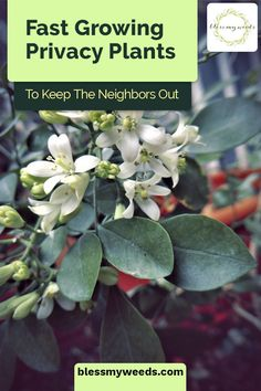 The Best Privacy Plants For Landscaping Who doesn't love gorgeous landscape? If green is your thing, Fast Growing Privacy Shrubs, Shrubs For Privacy, Outdoor Privacy, Outdoor Plants, Clematis Plants, Fence Plants, Landscaping Along Fence, Landscaping Plants, Landscaping Ideas