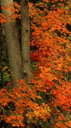Fall Sugar Maples (Acer saccharum)