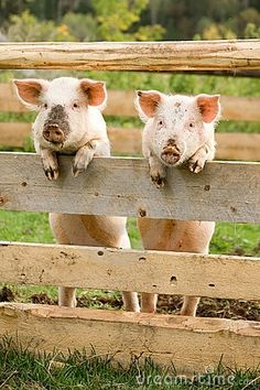 Two pigs. pigs
