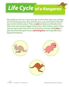 Life Cycle of a Kangaroo Lesson