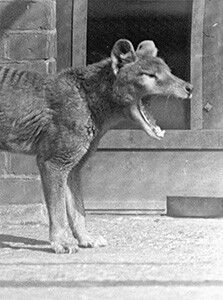 Thylacine, The thylacine was the largest known carnivorous marsupial of modern times. It is commonly known as the Tasmanian tiger or the Tasmanian wolf.