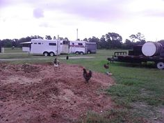 Chickens on horse manure