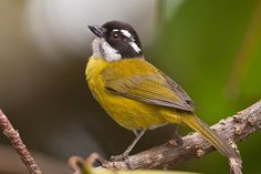 Sooty-capped Bush-Tanager (4145) | Paul Bannick