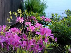 Azaleas, fern and hosta in my garden