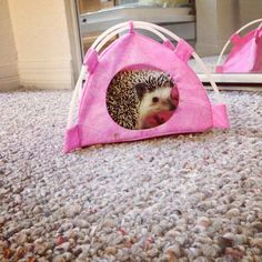 Penelope the hedgehog in her new pink tent!