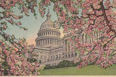 US Capitol Washington DC Through the Cherry Blossoms vintage postcard
