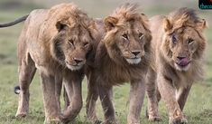 Share This They say truth in stranger than fiction, and this story coming out Ethiopia is so incredible, that it's rather hard to believe. For a 12-year-old little girl living in Ethiopia,three lions came to her rescue just in time to save herfrom being abducted,and prevented her from being raped … More...