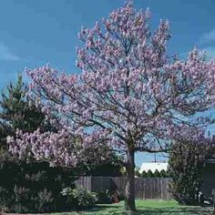 Royal Empress Tree Seeds-Paulownia Tomentosa-100+Seeds by Seeds and Things. $0.99. 100 + seeds. Growing Zones 5-11. Beautiful Flowers. Very Fast Growing Tree up to 10 Feet per Year. Starting Instructions Included. The Royal Empress Tree grows rapidly from seed. The huge leaves are an architectural delight and in warm summers, they are coupled with many panicles of fragrant, foxglove-like blooms. It is native to China and hardy to zone 5 USA. It can grow 10 to 15 fee...