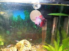 Small mirrors illusions and toys on pinterest for Toys for betta fish