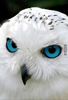 Snow owl has mesmerizing blue eyes… Funny pictures about Snow owl has mesmerizing blue eyes. Oh, and cool pics about Snow owl has mesmerizing blue eyes. Also, Snow owl has mesmerizing blue eyes. Colorful Animals, Colorful Birds, Nature Animals, Cute Animals, Exotic Animals, Wildlife Nature, Exotic Birds, Owl Photos, Owl Pictures