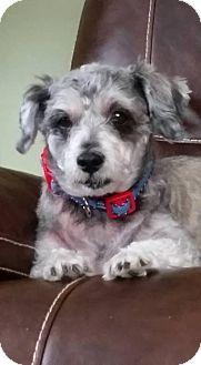 SAFE - Rochester, NY -Rescued Treasures Pet Adoptions,  Standard Schnauzer. Meet RILEY, a dog for adoption. http://www.adoptapet.com/pet/14523288-rochester-new-york-standard-schnauzer