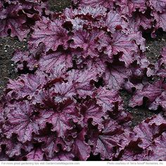 NEW 2015 Heuchera 'Forever Purple' Very vigorous, 'Forever Purple' is packed with fluted, glossy, deep purple leaves all year long. With long-lasting color and purple-pink summer flowers, it will look good in beds, borders, containers or hanging baskets. Blooms Short purple-pink spikes in summer Part-full shade Soil Well-drained soil 10-12 in. tall, 20-22 in. wide Cold-hardy USDA zones 4-9 Heat-tolerant AHS zones 9-1 Introducer Terra Nova® Nurseries | Garden Gate eNotes