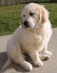 golden retriever puppy by isabelle