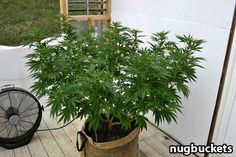 Radical main-lining plant grown out - by Nugbuckets