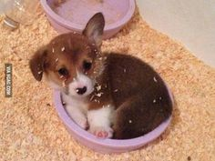 Apparently our new corgi is a bowl sleeper.