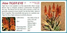 Aloe 'Tiger Eye'