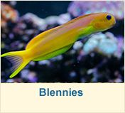 Buy Saltwater Marine fish online delivered to your door. Marine fish for sale including invertebrates, corals and live rock. Marine Tank, Marine Fish, Saltwater Fish Tanks, Saltwater Aquarium, Marine Aquarium, Reef Aquarium, Aquarium Ideas, Salt Water Fish, Salt And Water