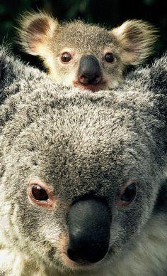 Mumma Koala & baby