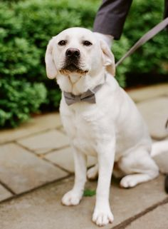 Yellow lab wearing gray bow-tie