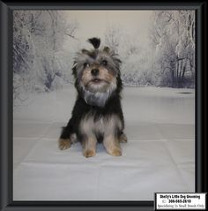Remi Small Breed, Dog Grooming, Dogs, Animals, Animales, Animaux, Pet Dogs, Doggies, Animal