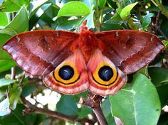 When threatened, the Io moths (Automeris io) will spread their wings to reveal a startling eyespot pattern, used to deter predators!