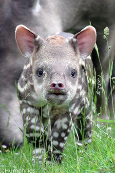Tapir Calf, born at the Linton Zoo, Cambridge, UK - Pixdaus