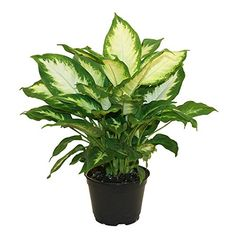 How To Care For The Dieffenbachia Plant - Growing The Dumb Cane
