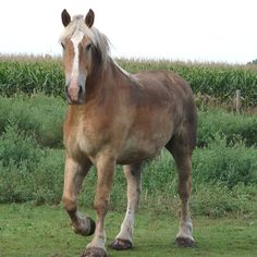 draft horse breeds | the belgian is know for its kindness gentleness and willingness to ...