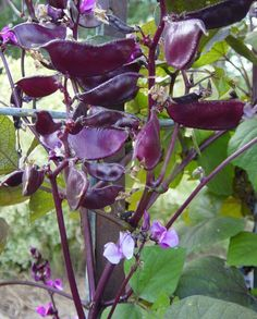 Picket Fence Greenhouse & Gardens- Online Garden Ebay Plant Store May-Sept Every Year »Hyacinth Bean-- purple seed pods