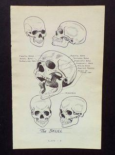 Vintage Skull Anatomy Illustration