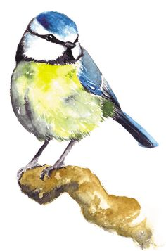 Blue tit www. - You are in the right place about cute Birds Watercolor Projects, Watercolor Bird, Watercolor Animals, Watercolor Techniques, Painting Techniques, Watercolor Paintings, Bird Illustration, Watercolor Illustration, Blue Tit