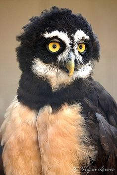 ✯ Spectacled Owl (he looks a bit like one of my bosses but I won't say who.