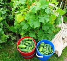How to feed cucumbers during flowering and fruiting Lettuce, Celery, Watermelon, Diy And Crafts, Herbs, Fruit, Vegetables, Flowers, Plants