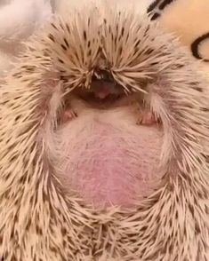 Hedgehog Pet, Cute Hedgehog, Cute Animal Videos, Funny Animal Pictures, Cute Little Animals, Cute Funny Animals, Nature Animals, Animals And Pets, Wildlife Nature