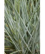 Blue Dune Lyme Grass (Elymus arenarius 'Blue Dune') - Monrovia - Blue Dune Lyme Grass (Elymus arenarius 'Blue Dune')