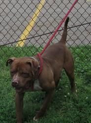 URGENT!!! FOUND IN STARK CO...CANTON, OHIO>>>26 Mac is an adoptable Pit Bull Terrier Dog in Canton, OH.  UPDATE 8/10: It's not looking good for this handsome boy, he's just not had a lot of people look at him.He has been a gem the last 2 w...