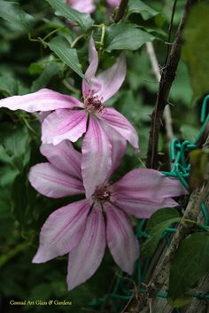 Self-seeded clematis