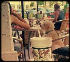 Please give me a bite of that Tijuana Flats taco! #dog #cute #puppy