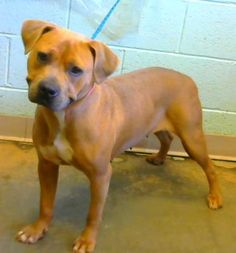 Irie - located at Dekalb County Animal Shelter in Decatur, Georgia - 2 year old Am. Pit Bull Mix