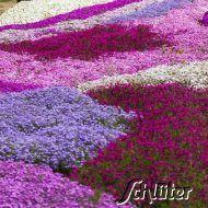 Polsterphlox Mischung - 4 Pflanzen