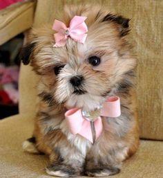 "Cute Shih Tzu Puppy says...""Please adopt, don't shop"""