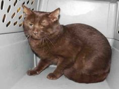 **TO BE DESTROYED 07/21/16** CHOCOLATE PURRSONALITY PLUS NEEDS A FOSTER OR ADOPTER TONIGHT! Meet TOBBY, a gorgeous cocoa-colored vision whose ACC notes are an absolute disgrace. Supposedly belonging to one family since he was a kitten, yet taken to the shelter as a