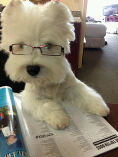Braxton enjoys a morning read before heading out to play with the siblings.  #westiesquared