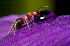 https://flic.kr/p/bxXhVu | Southern Wood Ant | My photos on Facebook: Zoltan Gyori Photography