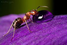 https://flic.kr/p/bxXhVu   Southern Wood Ant   My photos on Facebook: Zoltan Gyori Photography