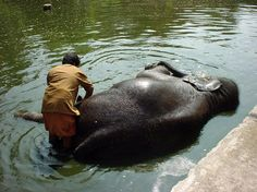 Trichur, Kerela - India Washing the elephants was the most lovely experience ever!!